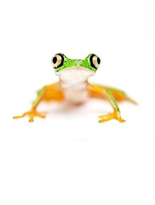 Spurrell's leaf frog, or flying frog, Agalychnis spurrelli, Costa Rica